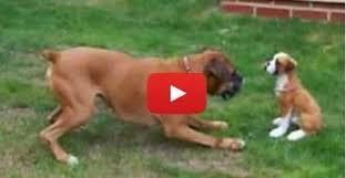 boxer dog statue boxer dog vs boxer puppy statue the waggington post