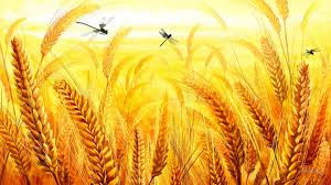 high resolution thanksgiving wallpaper fields crop grains gold oats field fall agriculture dragonflies