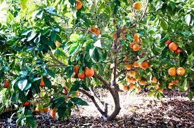 facts about the blood orange tree types and health benefits