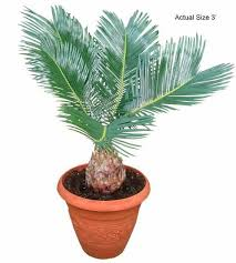 best 25 palm tree care ideas on garden ideas with