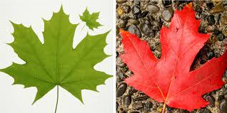 White Flag With Green Leaves Canadian Maple Leaf Free Download Clip Art Free Clip Art On