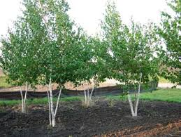 birch white spire affordable trees