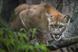 Tennessee wildlife images Tennessee wildlife federation cougars in tennessee fact or jpg