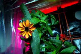 zinnias from space nasa studies the multiple benefits of