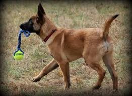 belgian shepherd or malinois 36 best belgian malinois images on pinterest german shepherds