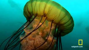 sea nettle jellyfish birth youtube