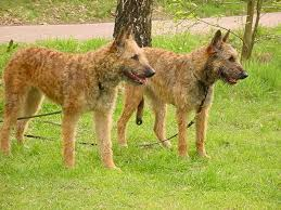 belgian sheepdog laekenois 36 best laekenois images on pinterest belgian shepherd belgian