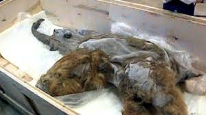 mummy mammoth u0027s brain preserved specimen researchers