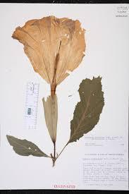 Fragrant Plants Florida Brugmansia Suaveolens Species Page Isb Atlas Of Florida Plants