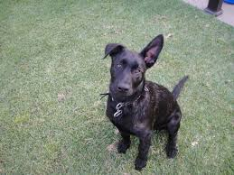 belgian shepherd ears pics of mack dutch shepherd forum