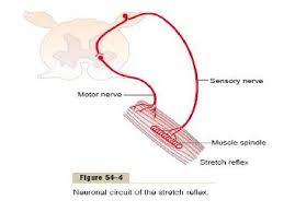 Pain Reflex Pathway Spinal Cord Reflexes