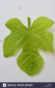 fig leaf isolated a fig leaf to cover up rather than black