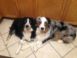 australian shepherd indiana australian shepherd dog breeder in bakersfield california usa