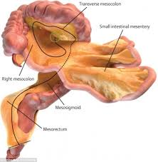 A Picture Of The Human Anatomy Experts Discover A Brand New Organ In The Human Digestive System