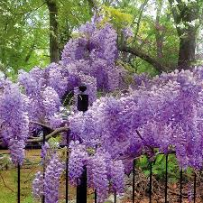 blue moon wisteria from park seed