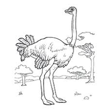 10 funny ostrich coloring pages toddler love color