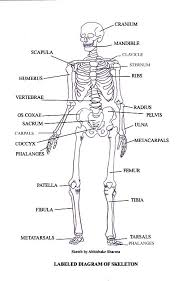 Human Anatomy Skeleton Diagram Human Anatomy Chart Page 67 Of 202 Pictures Of Human Anatomy Body