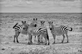 why do zebras have stripes new study offers strong evidence
