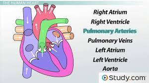 circulatory system iii the heart video u0026 lesson transcript