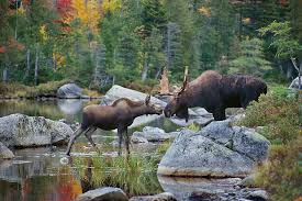 photographers in maine maine moose and fall foliage photo tours and workshops slonina