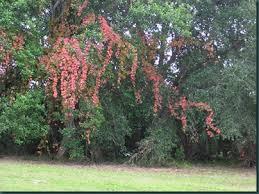 poison ivy garden trees grass lawn flowers