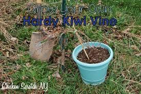 grow your own hardy kiwi chicken scratch ny