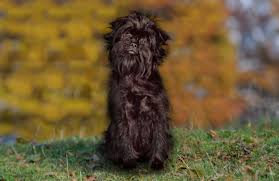 affenpinscher pics affenpinscher breed history information and pictures pawculture