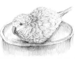 quaker parrot illustration parakeet print black and white