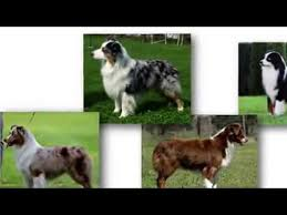 hart 2 australian shepherds akc introduces the new breed the miniature american shepherd youtube