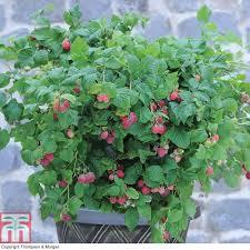 raspberry plants thompson u0026 morgan