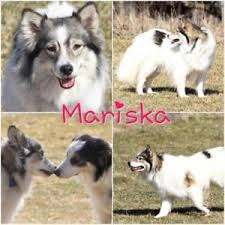 american eskimo dog for sale ontario american eskimo kijiji in manitoba buy sell u0026 save with