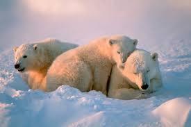 Are Bears Color Blind 7 Extraordinary Facts About Polar Bears For International Polar