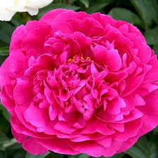 pianese flowers peony pink 8 bulbs per pack hadeco