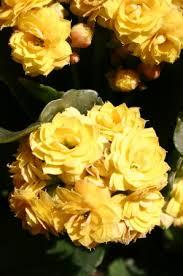 spectacular succulent flowers