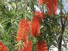 bottle brush tree callistemon rigidus and other species
