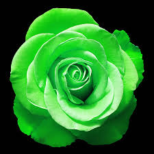 green roses green photograph by aimee l maher alm gallery