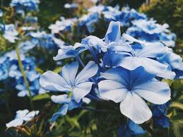 blue flower blue flower pictures free images on unsplash