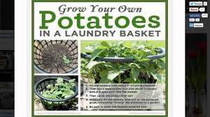 Container Store Laundry Hamper by How To Grow Potatoes In A One Dollar Laundry Basket Youtube