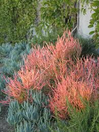 southern california native plants landscaping 8 showy succulents for your water wise garden install it direct