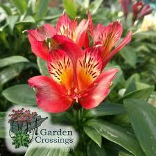 peruvian lilies buy alstroemeria inca joli peruvian online
