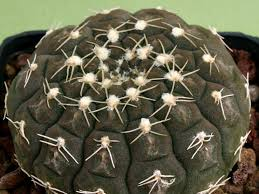 Seeking Cactus Cast Gymnocalycium Ragonesei World Of Succulents