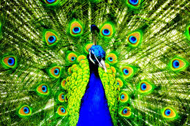 35 peacock color wallpapers png picture wallinsider com