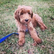goldendoodle puppy treats kategori f1 goldendoodle wilson creek kennels llc