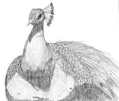 the peacock of pencil ness by aboredlifeisboring on deviantart