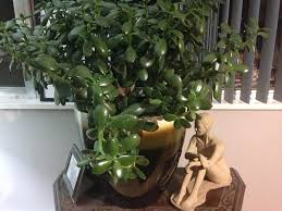 Ask a Question forum jade plant with drooping branches help