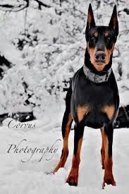 best 25 warlock doberman ideas on doberman doberman
