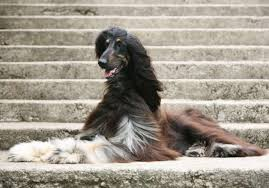 afghan hound 9 months 10 elegant facts about the afghan hound mental floss