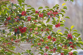native plants of michigan 18 species of holly trees and shrubs
