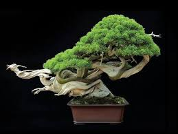 best 25 bonsai trees for sale ideas on bonsai for