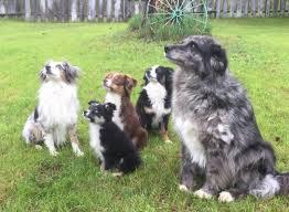 australian shepherd agility information about aussies